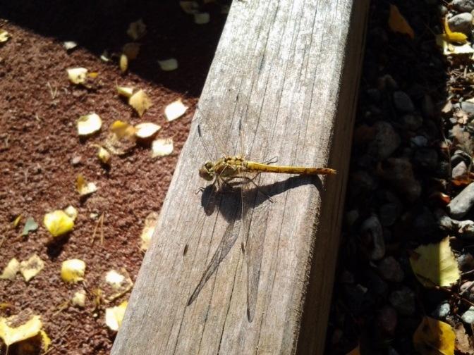 Dragon fly Trollslända