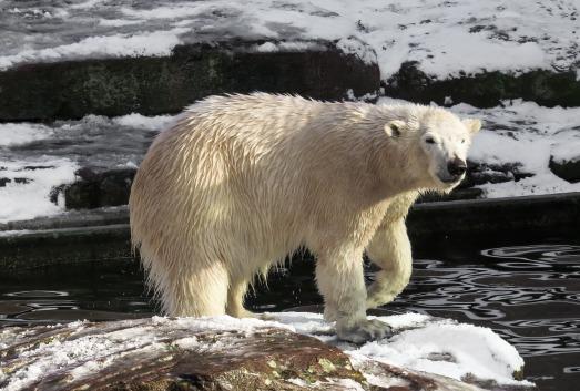 polar-bear-1157224_1280
