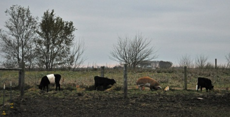 cows and pig