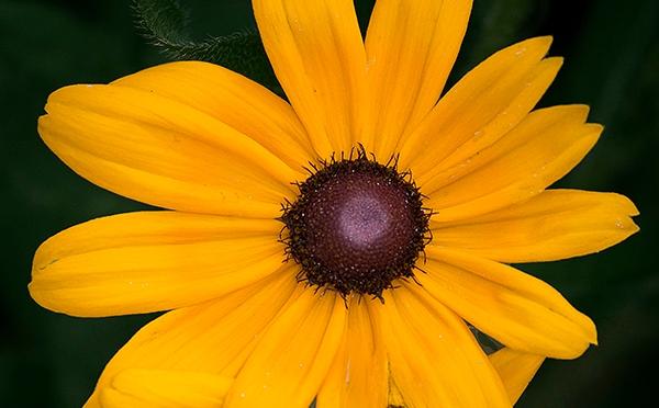 Rudbeckia hirta (Black-eyed-Susan)
