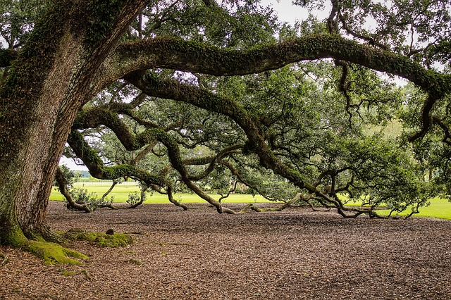 Ghosts: The Boyington Oak